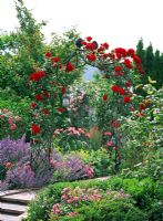 Rose arch with Rosa 'Santana and borders with Rosa, Nepeta and Buxus