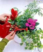 Woman watering mixed houseplants in container including Vriesea, Kalanchoe, Hedera and Chamaedora