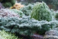 Abies amabilis 'Spreading Star' - Silver Fir