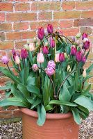 Mixed Tulips in terrracotta container with willow plant supports - Tulipa 'Ronaldo', 'Lydia' and 'Blue Diamond' - Kelmarsh Hall, Northants NGS