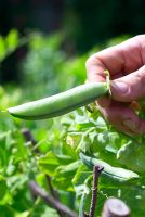 Hand picking 'Pea Feltham First'