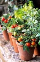 Pots of miniature dwarf tomatoes 'Micro Tom' and mixed basils on windowsill including Ocimum 'African Blue' and Thai 'Pesto Perpetuo'