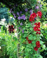 Archway with Clematis and Alcea