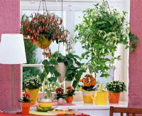 Mixed houseplants in window - Kalanchoe, Ampel, Tradescantia, Philodendron scandens and Exacum