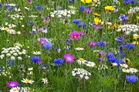 Annual wildflower meadow at RHS Harlow Carr