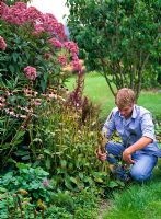 Man cutting back Stachys in mixed bed with Eupatorium and Echinacea