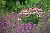 Echinacea 'Magnus' with Stachys officianalis 'Hummelo' and Molinia