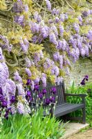 Wooden bench beneath Wisteria underplanted with Irises