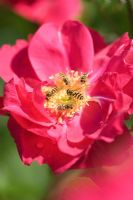 Rosa with Syrphus ribesii - Hoverflies, this species is a good friend to gardeners, the larvae being active predators of aphids