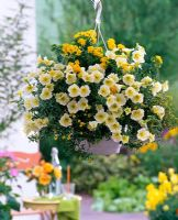 Hanging basket with Petunia 'Vanilia', Lantana and Sanvitalia