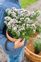 Child carrying herbs, Thymus serpyllum 'Purple Beauty' and Thymus praecox 'Pink Chintz'