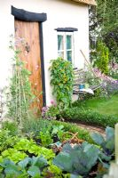 Small vegetable garden with Brassicas and lettuces, Thunbergia alata near door