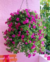 Petunia 'Raspberry Blast' in hanging basket
