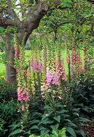 Digitalis under the shade of a Magnolia tree