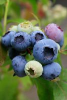 Vaccinium 'Bluecrop' - Blueberry showing ripe and ripening fruits