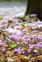 Cyclamen hederifolium under trees in early autumn