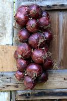 Allium cepa 'Red Baron' - Plait of organic onions drying on shed door