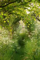 Willow arch with mown path through Anthriscus sylvestris