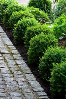 Young Buxus sempervirens edging a cobblestone path