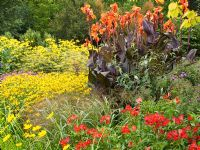 Planting of late summer perennials and ornamental grasses in the Square Garden at the RHS Garden Rosemoor - Rudbeckia fulgida var. deamii, Coreopsis 'Schnittgold', Canna 'Wyoming', Alstroemeria 'Red Beauty', Panicum virgatum 'Warrier' and Ulmus glabra 'Lutescens'