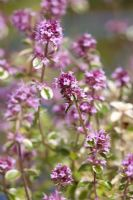 Thymus 'Foxley'