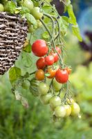 Tomato 'Tumbler' in a hanging basket