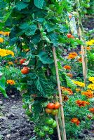 Tomato 'Moneymaker' grown outdoors with marigolds