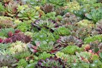 Sempervivum - mixed varities