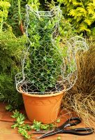 Cat topiary with common box - Buxus sempervirens being trained inside a chicken wire frame