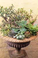 Fleshy leaved succulents planted in a shallow urn to cut down on watering including Sempervivum, Echeveria, Aeonium, Crassula ovata, Sedum, Chiastophyllum and Aloe