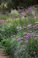 Verbena bonariensis with Pennisetum 'Hameln', Echinacea and Agapanthus at Knoll Gardens in August