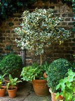 Ilex aquifolium 'Argentea Marginata' - Standard holly underplanted with yellow alpine strawberries