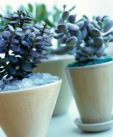 Crassula - Money trees in small glazed pots with glass mulch