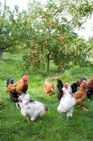 Chickens in apple orchard