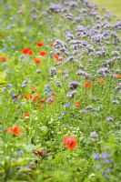 Poppies and Phacelia tanacetifolia - Scorpion weed in meadow