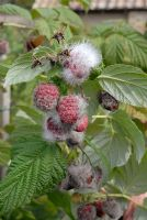 Rubus idaeus - Autumn Raspberries with grey mould caused by wet weather and then sudden warmth and humidity in September