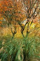 Miscanthus 'Hermann Mussel' with Koelreuteria paniculata in autumn, at Priona Garden, Netherlands