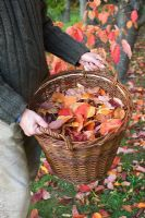 Man holding wicker basket with leaves from Prunus tree