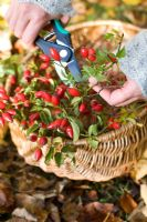 Woman cutting rosehips from wild roses in to wicker basket for flower arrangement
