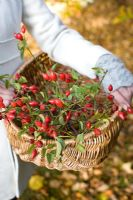 Woman carrying wicker basket of rosehips from wild roses used for flower arrangement