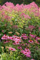 Echinacea 'Rubinglow' and Eupatorium maculatum 'Riesenschirm' in the long border designed by Piet Oudolf at Trentham Gardens