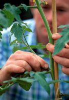 Man removing side shoots of tomato plant