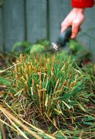 Trimming old leaves from ornamental grass in spring just before new growth starts