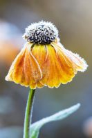 Frost on Helenium 'Sahins Early Flowerer'