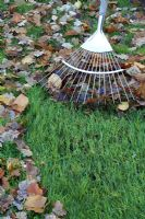 Raking fallen autumn leaves on lawn