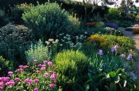 The dry Gravel Garden in late spring at Beth Chatto's Garden, Essex. Mixed planting of perennials, bulbs and shrubs including Centaurea, Bergenia, Papaver, Iris, Allium nigrum, Cistus, Genista and Nepeta