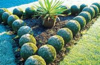 Buxus balls in border in winter - Woodpeckers, Warwickshire NGS