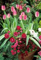 Connoisseur terracotta pot for the Spring with Tulipa 'Garden Party' underplanted with variegated Hemerocallis fulva 'Variegated Kwanso', deep red double primrose, pink double daisies, pink and white double buttercups - Ranunculus 'Accolade' and Dicentra 'Stuart Boothman'
