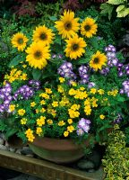 Blue and yellow theme for summer with dwarf sunflower Helianthus anuus 'Pacino' with Phlox drummondii 'Bobby Sox' and Tagetes 'Lemon Gem' growing in a large terracotta pot