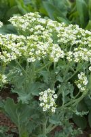 Crambe maritima in flower in May